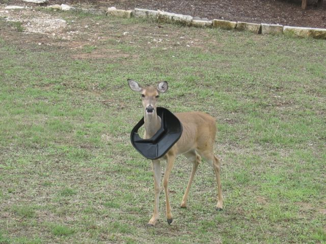 Golfer Deer