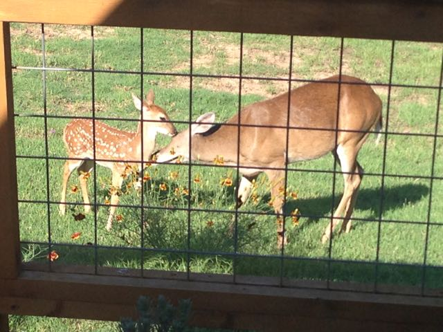 Deer Licking Fawn-IMG_1627