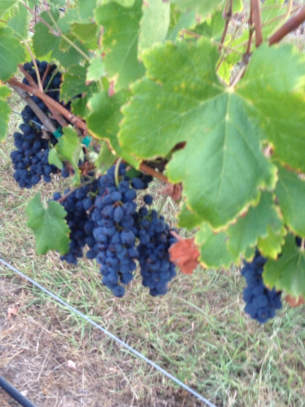 Vintage 2016 Harvest